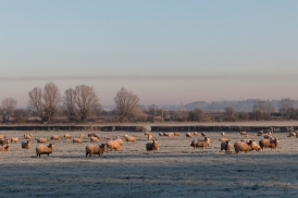 More frosty sheep...