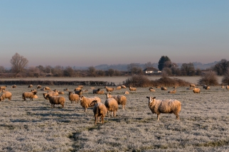 Frosty sheep!