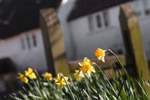 Daffodils on Stocks Green
