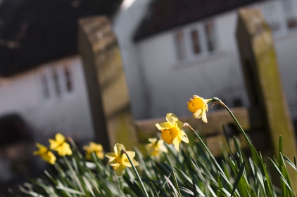 Daffodils on Stocks Green