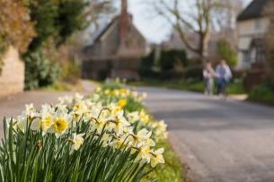 Daffodils on Main Street