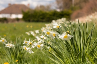 Daffs in the fields off the Towmead track
