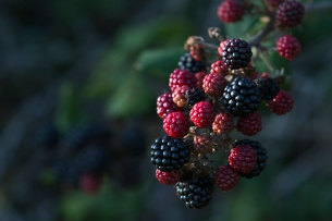 Blackberries behind the Manor