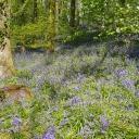 Bluebells, Horningsham walk April 2019
